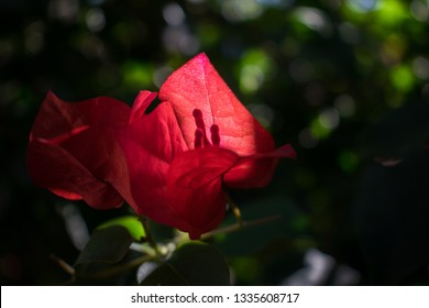 Close-up of isolated crimson bougainvillea flower in a garden in spring. Also known as bugambilia or buganvilla. Nature, flora and botanic background.