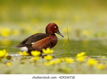Close-up isolated Ferruginous Duck, Aythya nyroca, colorful duck, male in mating plumage, swimming on  water covered by yellow flowers, against blurred green reeds in background. Springtime.