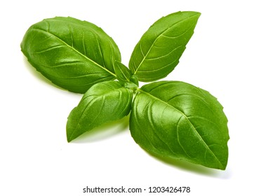 Close-up. Isolated fresh basil herb leaves