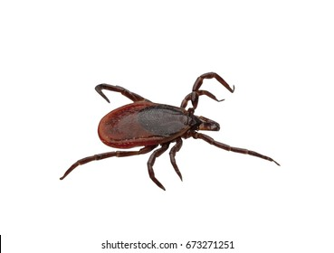 Close-up of isolated ixodid tick on a white background