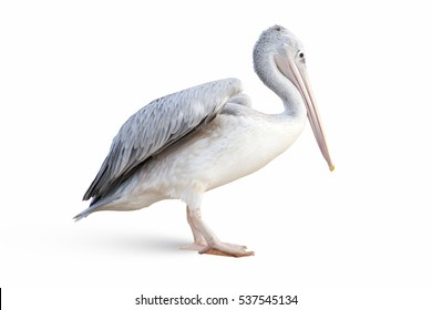 Closeup to isolated pelican on white background, bird