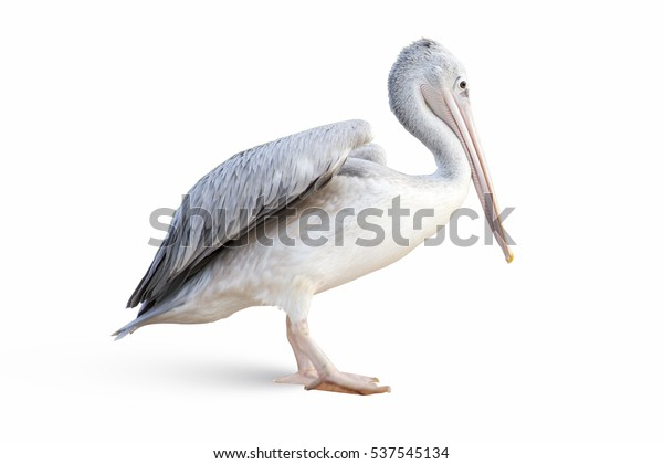 closeup-isolated-pelican-on-white-600w-5