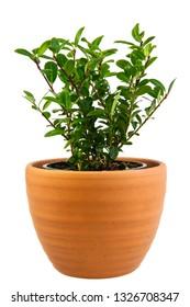 Closeup of an isolated potted ilex crenata bush