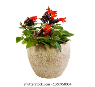 Closeup of an isolated potted red lipstick plant