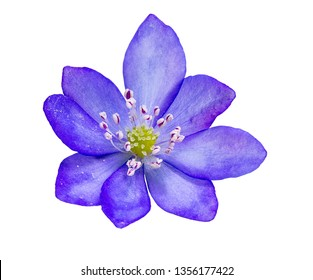 Closeup of an isolated purple liverleaf flower blossom