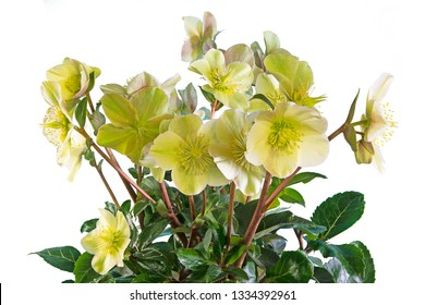 Closeup of an isolated yellow christmas rose flower with many blossoms