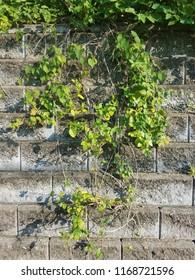 Closeup ivy leaves