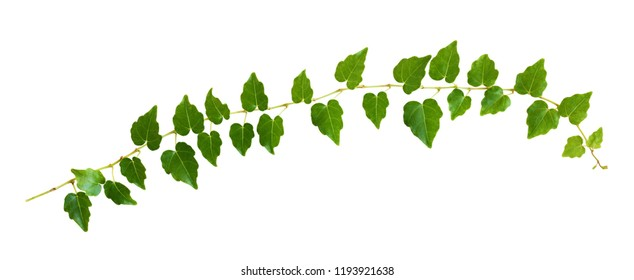 Closeup of ivy twig with small green leaves isolated on white