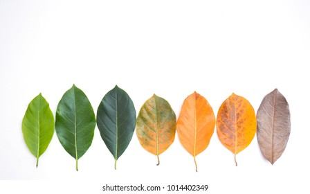 Closeup jackfruit leaves in different color and age . Line of colorful leaves in spring autumn season. Environment changed concept. Top view or flat lay background and banner.