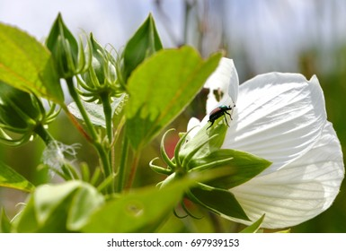 Beetle Insect On A Hibiscus Flower Images Stock Photos Vectors