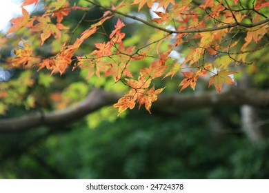 Close-up of japanese maple-leafs, about to turn red. Picture taken in a traditional garden in Kyoto.