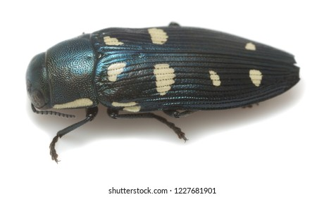 Closeup of a jewel beetle, buprestis octoguttata photographed on white background.