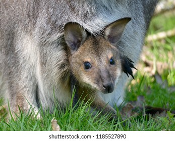 Closeup joey Red-necked wallaby or wallaby of Bennett (Macropus rufogriseus) in the pocket