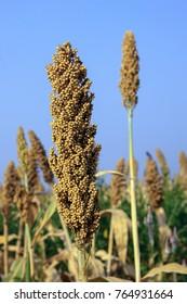 Closeup of Juar,jowar ,Millet Sorghum against blue sky crop ready for harvesting Maharashtra, India