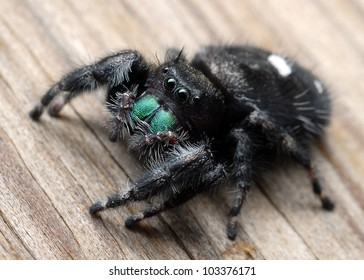 Close-up of jumping spider (Phidippus audax)