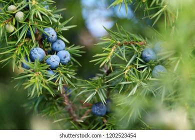 Close-Up Of Juniper Berries Growing On Tree.  Juniper branch with blue berries growing outside.