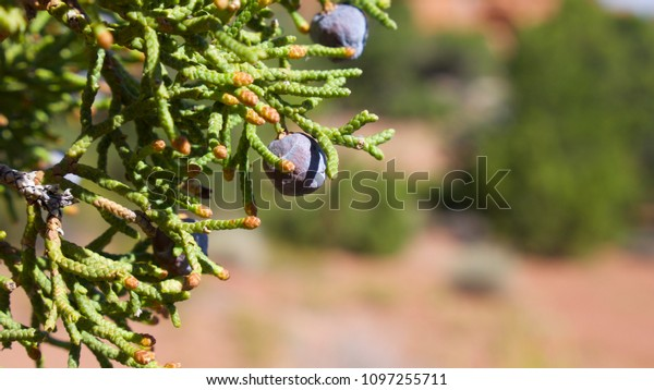 Close-up of Juniper berry and needles in the Colorado National Monument, located near the town of Fruita, Colorado.  The proper name is Utah Juniper (Juniperus osteosperma from the Cypress Family.
