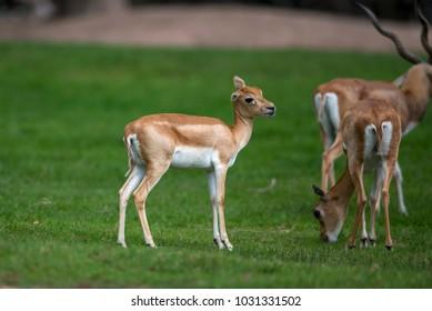 Closeup juvenile antelope on green background