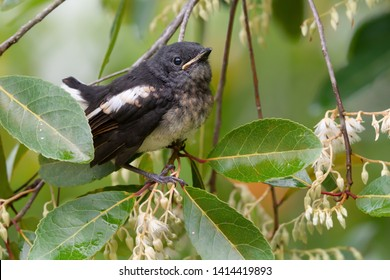 Closeup of juvenile  songbird    perching on white flower of Fairy petticoats lifting tail up,over shoulder shot. Oriental magpie robin young bird,side view .