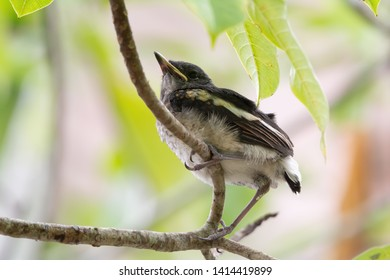 Closeup of juvenile  songbird    perching on branch of Fairy petticoats with blurred background ,low angle view. Oriental magpie robin young bird .
