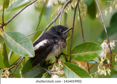 Closeup of juvenile  songbird    perching on white flower of Fairy petticoats ,over shoulder shot. Oriental magpie robin young bird,side view .
