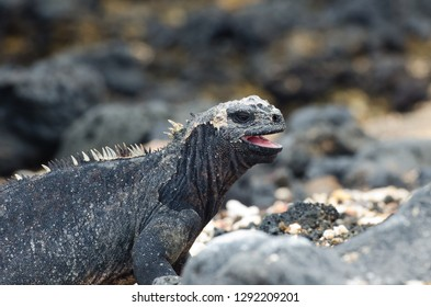 A closeup of a juvinile marine Iguana in the Galapagos