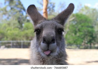 closeup of kangaroo playing with photograph