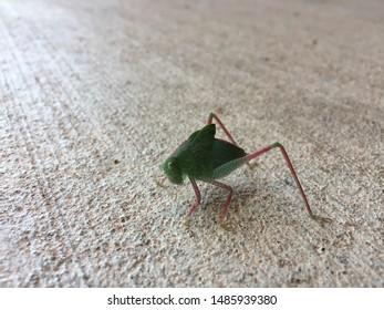 Close-up of a katydid standing on a sidewalk