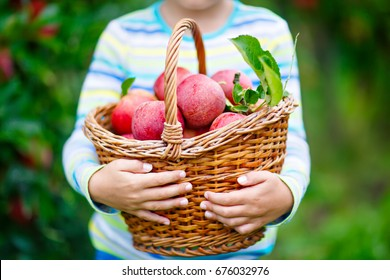 Closeup of kid picking and eating red apples on organic farm, autumn outdoors. Funny little preschool child having fun with helping and harvesting. Hands and basket with fruits.