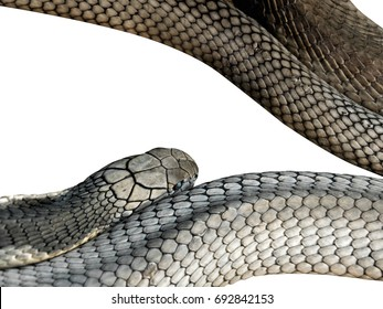 Closeup King Cobra Isolated on White Background, Clipping Path