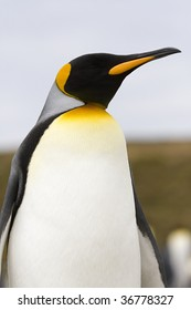 Close-up of king penguin (Aptenodytes patagonicus) at Volunteer Point, Falkland Islands