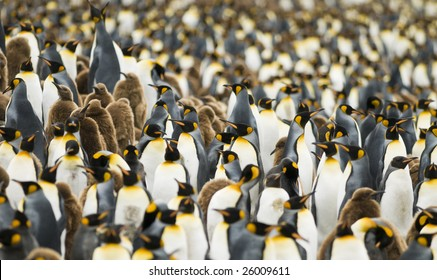 Close-up of King penguin colony - South Georgia