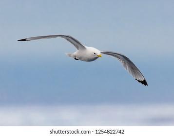 Closeup of kittiwake bird flying in sky in Arctic