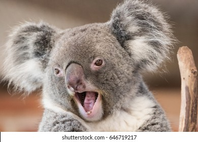 Closeup of a Koala with its mouth open in a surprised manner