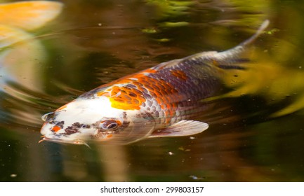 Close-up of a Koi carp, symbol of luck and prosperity in Japan
