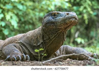 Close-up of Komodo dragon, photographed on the Komodo Island, Indonesia.