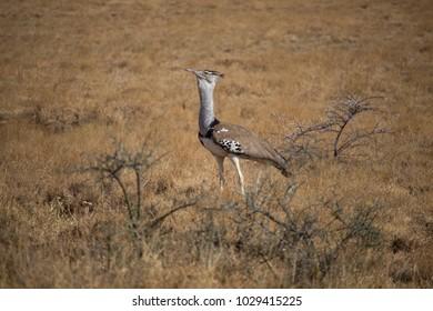 Closeup of Kori Bustard in African Dry Lands