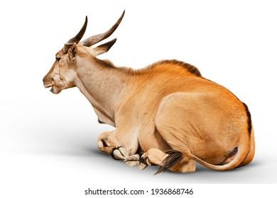 closeup-kudu-antelope-animal-isolated-26
