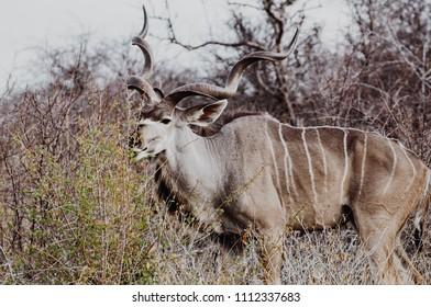 Closeup of a kudu antelope eating bush in Namibia