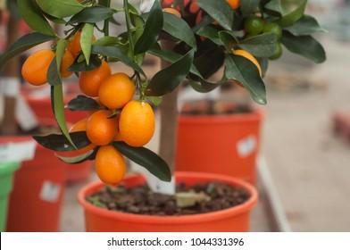 closeup of kumquat tree in orange pot in a green house