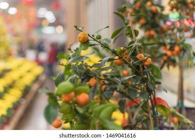 Close-up kumquat tree at Vietnamese Lunar New Year (Tet) festival in Texas, America. Row of bright yellow Chrysanthemum in background