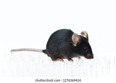 Close-up of laboratory black transgenic mouse on the glass tubes for animal test