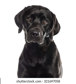Close-up of a labrador in front of a white background