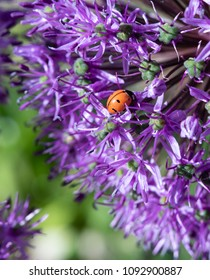 Close-up of lady bug on purple allium flowers with soft focus background. Photo shot locally at Kendrick Lake Park, in Lakewood, CO May 2018 with art photography lens which yields soft effects.