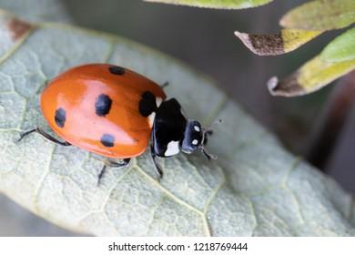 Closeup of a Ladybird