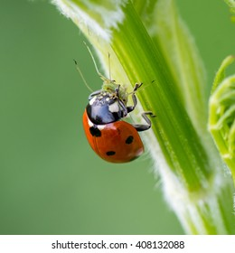 Close-up of a ladybird eating an aphid