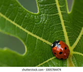 Closeup of a ladybug on a fig leaf wet from rain on a cold day