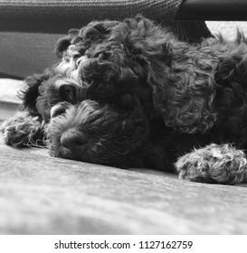 Closeup of a Lagotto Romagnolo puppy in black and white.
