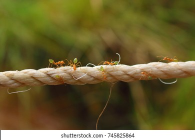 Closeup landscape picture of green tree ants on a rope against an out of focus background in Edith Falls, Northern Territory, Australia