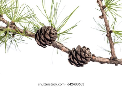 Closeup of a larch tree branch with larch cones, isolated on white background. Pine cones on branch of conifer tree.